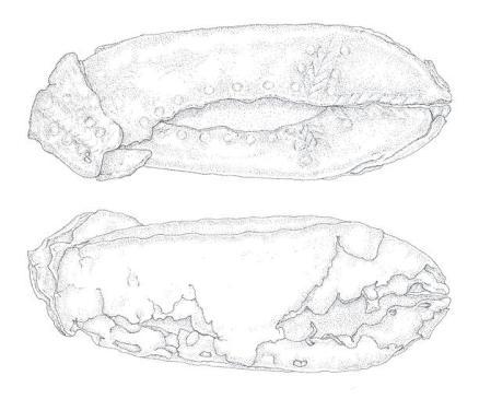 Ilustr. 16. Skórzany but z Dublina. Zwraca uwagę prosty wzór jodełkowy zdobiący górną część buta. Buty wykonywano według ustalonych wzorów.